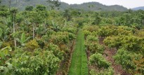 csm_cacao_agroforestry_chita_ivan_d9b4db34f9